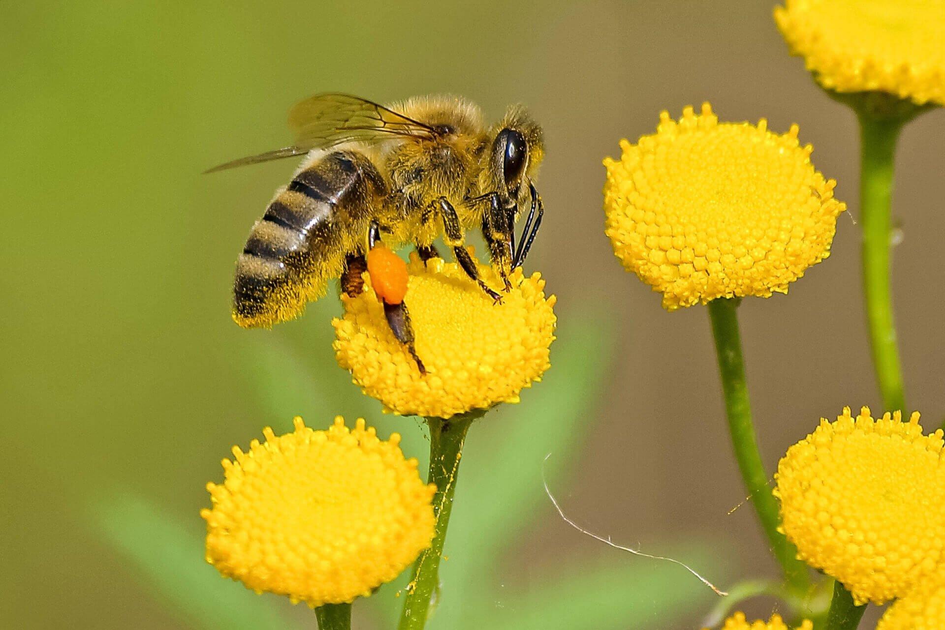 honey bee in flower
